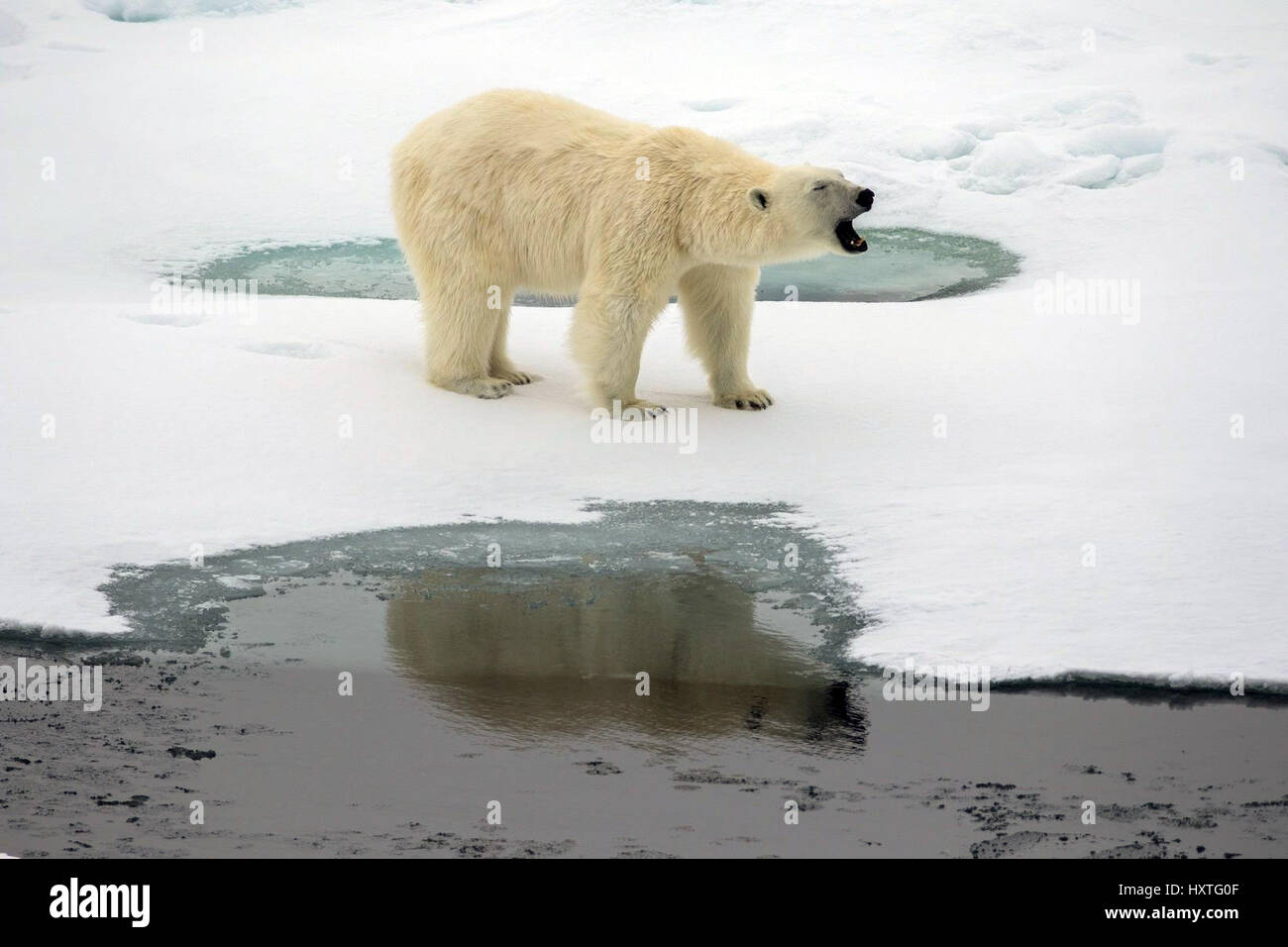 Alexandra Land, Russia. 29th Mar, 2017. A polar bear roars at Severnaya Bay on Alexandra Land March 29, 2017 in - Stock Image