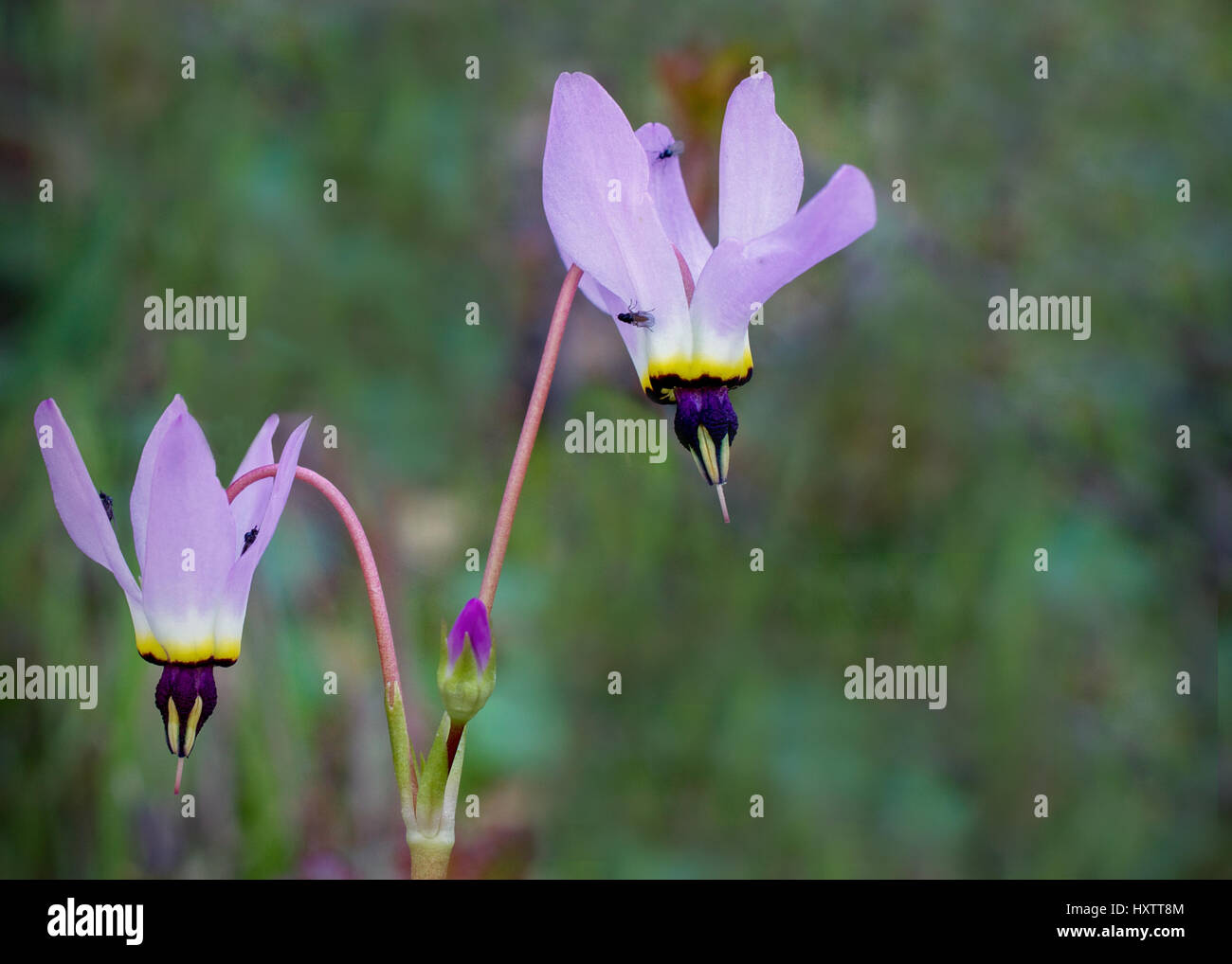Beautiful pink shooting stars (Dodecatheon) in nature in California, with some flies on them. Shooting stars are - Stock Image