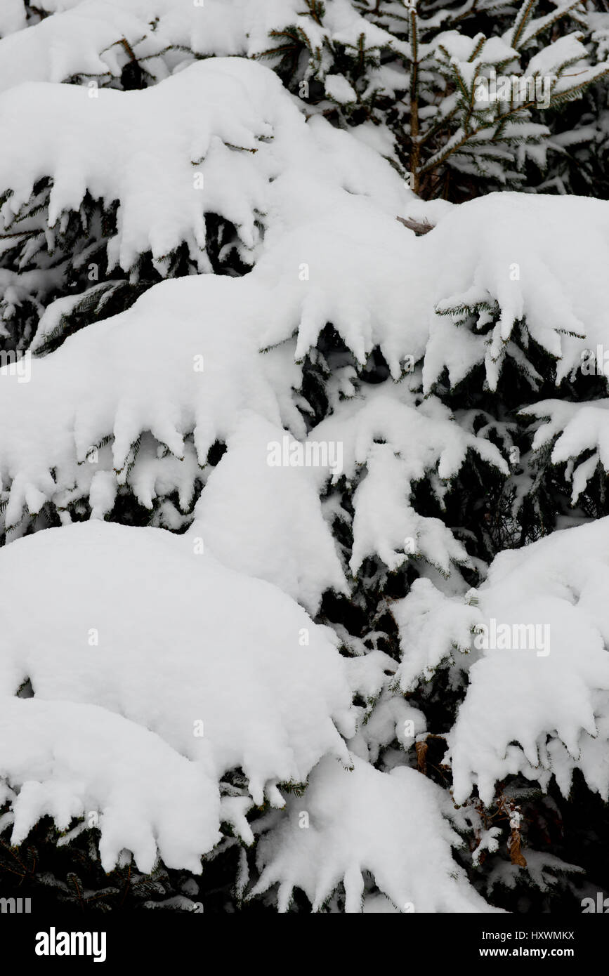 snow covered firs and spruces in wintery scenery - Stock Image