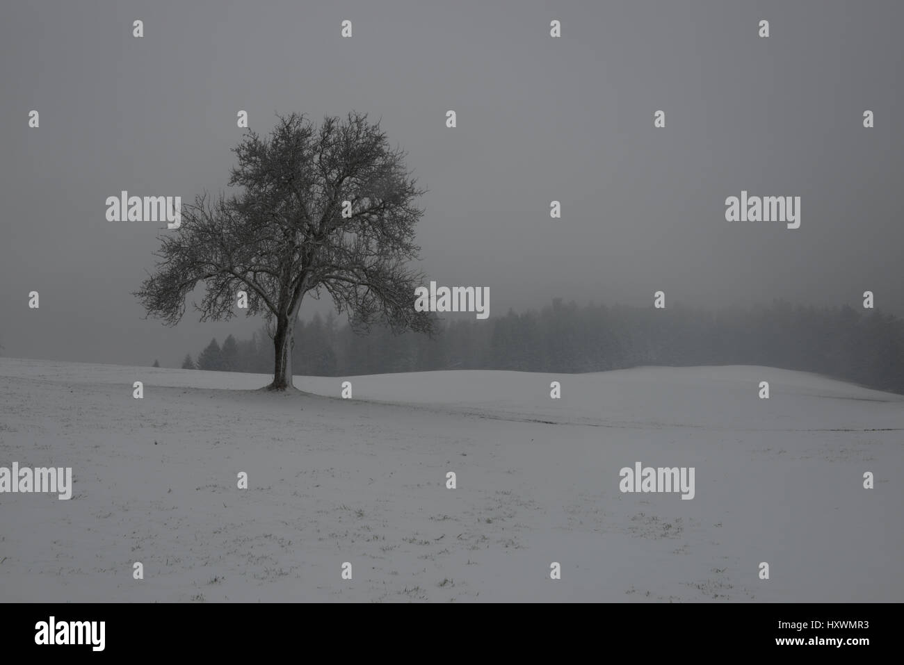 solitary fruit tree covered in snow on meadow with forest in background - Stock Image