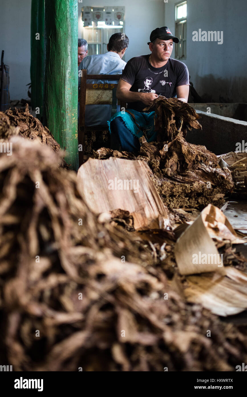 A man sorts through dried tobacco leaves in Viñales, Cuba. - Stock Image
