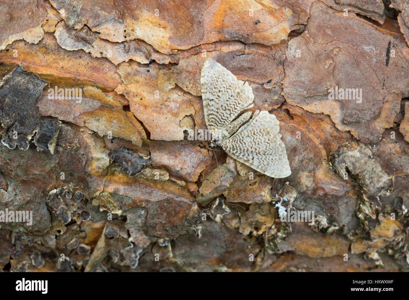 Scallop Shell Moth; Hydria undulata Single on Wood Cornwall; UK - Stock Image