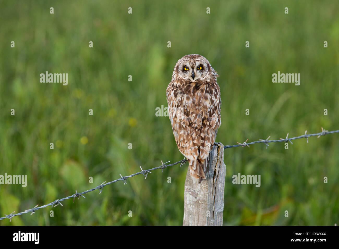 Short Eared Owl; Asio flammeus Single on Post Orkney; Scotland; UK - Stock Image