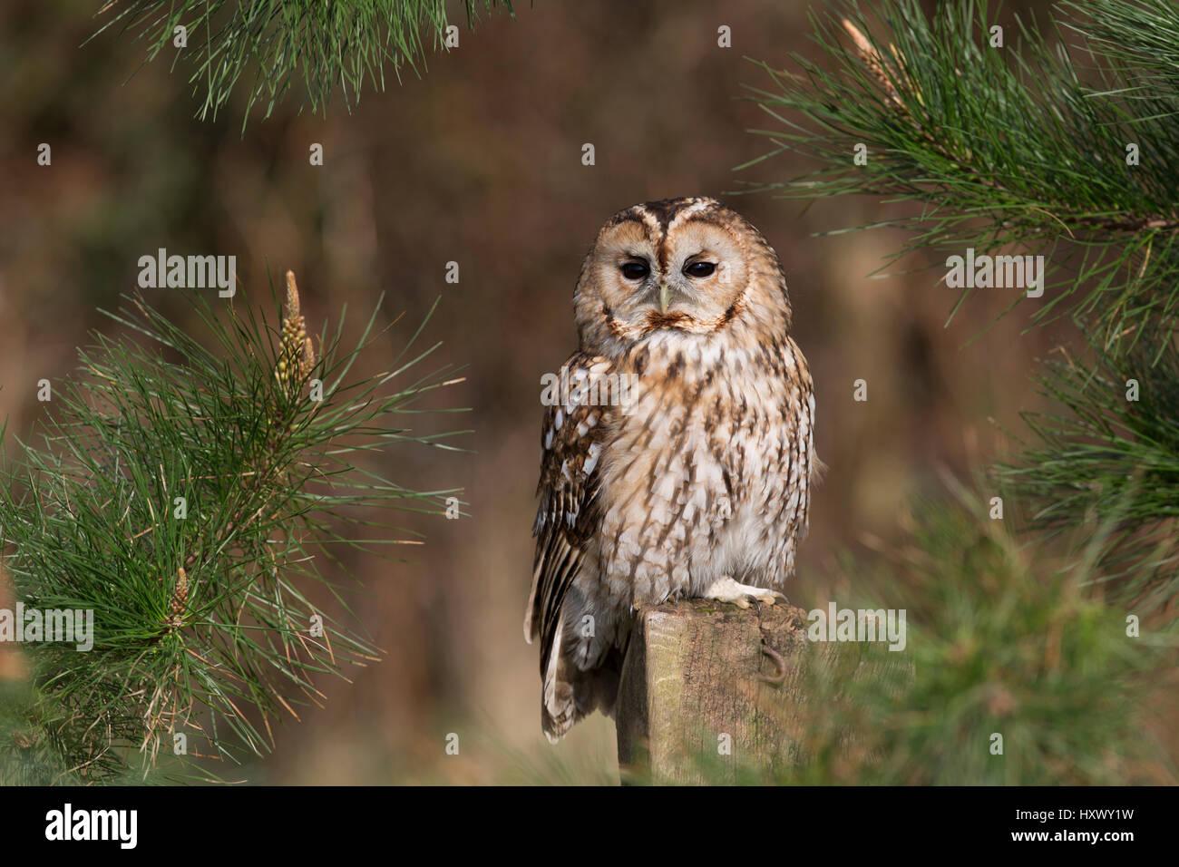 Tawny Owl; Strix aluco Single on a Post Cornwall; UK - Stock Image