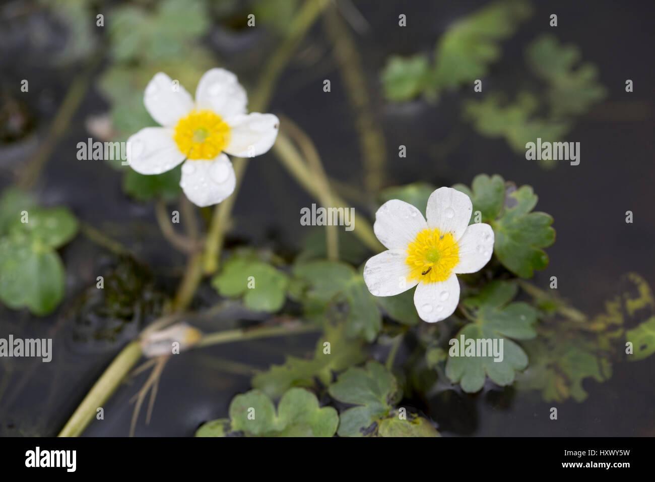 Water Crowfoot; Ranunculus aquatilis Flower Cornwall; UK - Stock Image