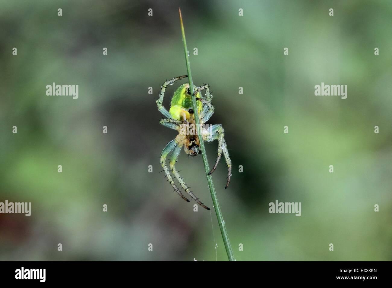 Cucumber Green Spider, Araniella cucurbitina - Stock Image