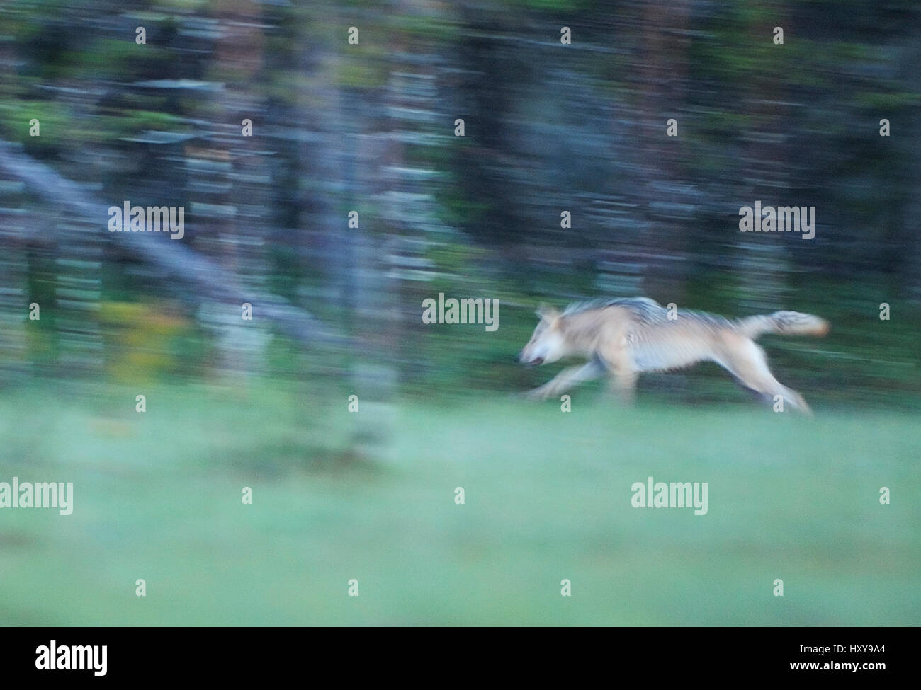 Wild European Grey wolf (Canis lupus) running at night, Kuhmo, Finland. July. Stock Photo