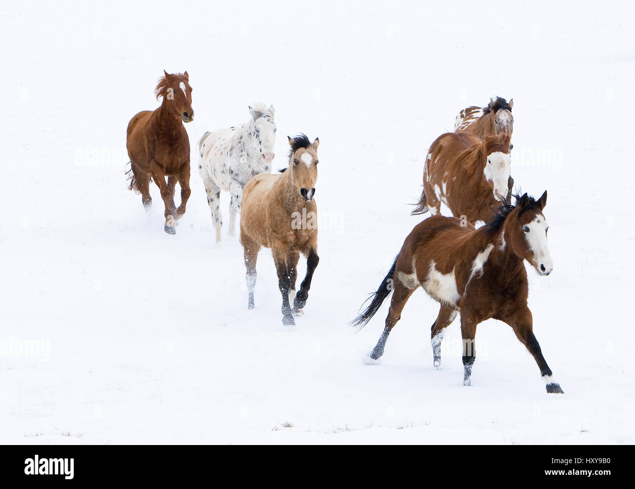 Horses running in snow, Flitner Ranch, Shell, Wyoming, USA. - Stock Image