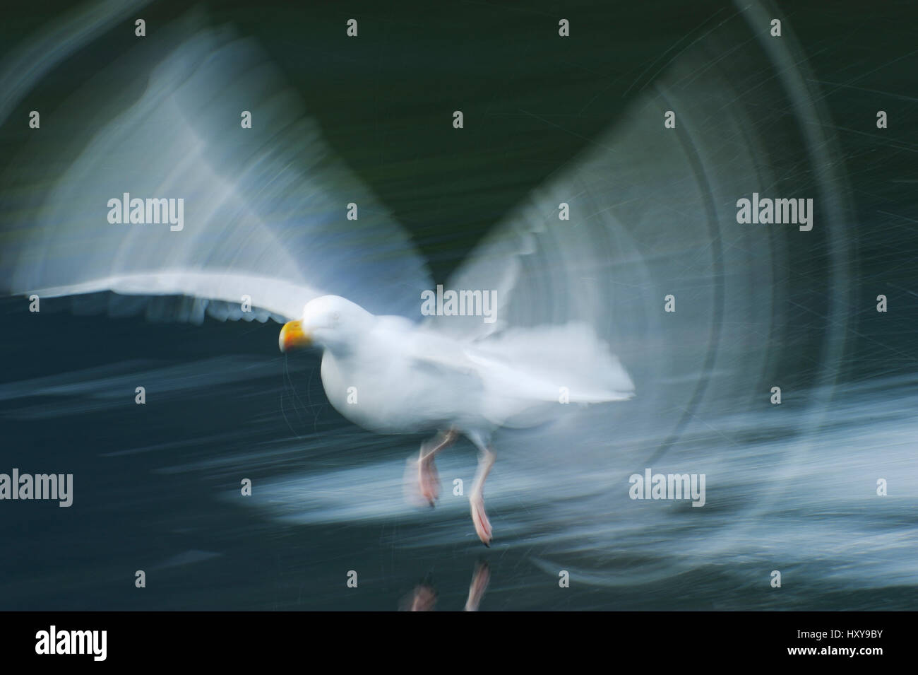 RF- Herring gull (Larus argentatus) in low flight over water, Flatanger, Nord Trondelag, Norway. August. - Stock Image