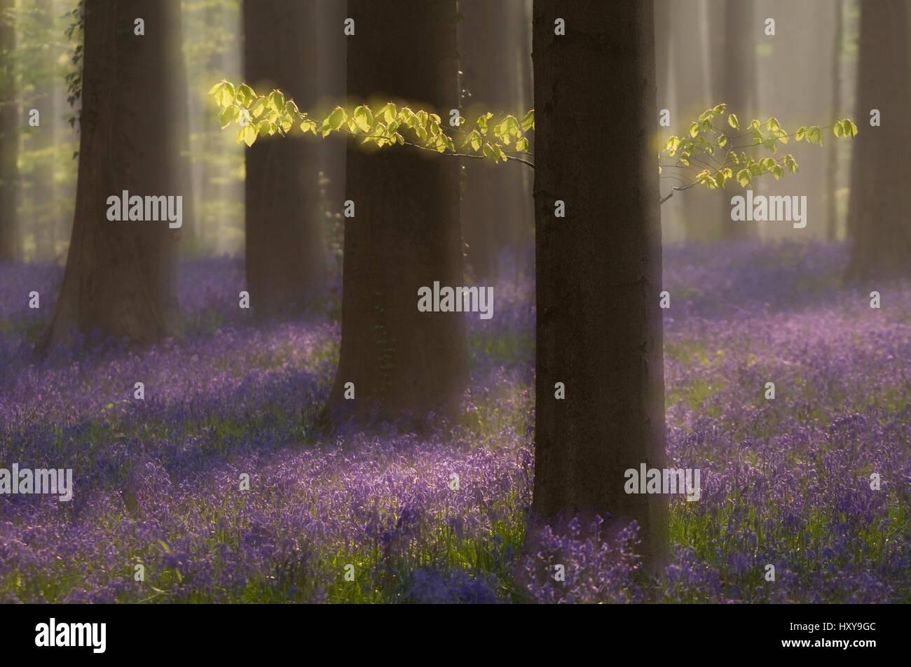 Bluebells (Hyacinthoides non-scripta / Endymion scriptum) flowering in Beech wood, Hallerbos, Belgium. April. Long - Stock Image