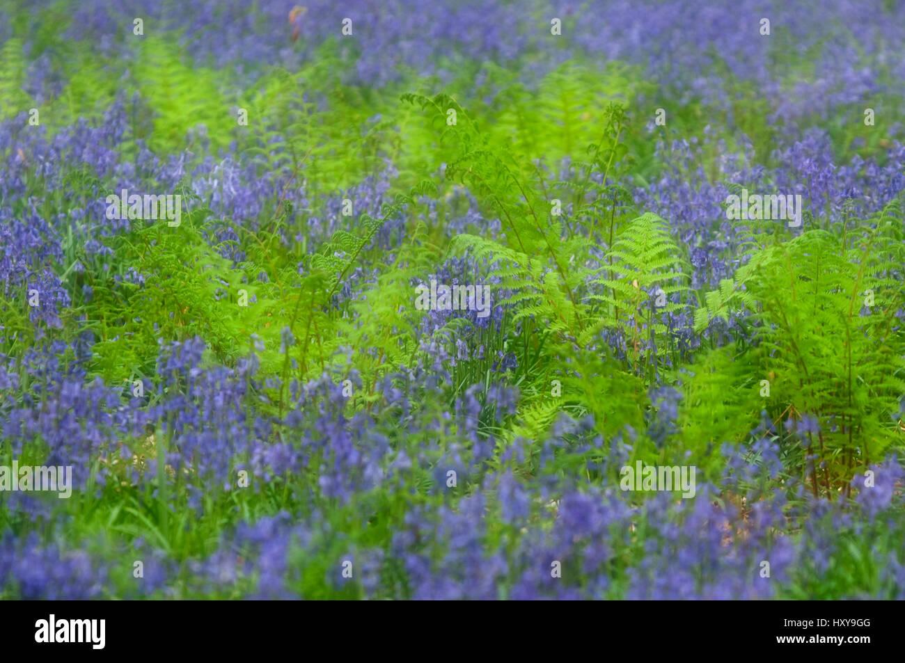 Bluebells (Hyacinthoides non-scripta / Endymion scriptum) flowering in Broad buckler fern (Dryopteris dilatata), - Stock Image