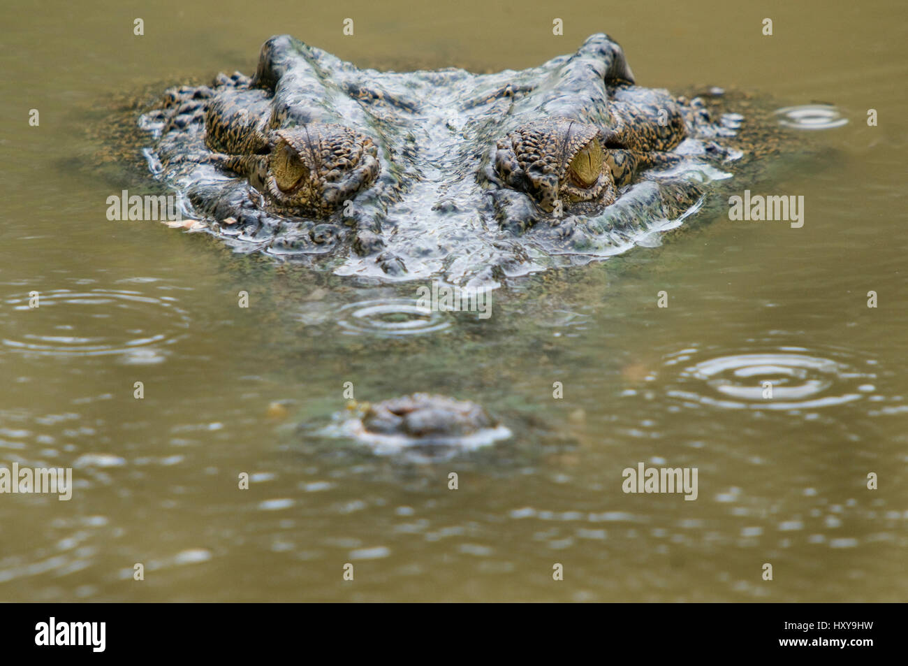 Saltwater crocodile (Crocodylus porosus) partially submerged with ripples on water from raindrops. Sarawak, Borneo, - Stock Image