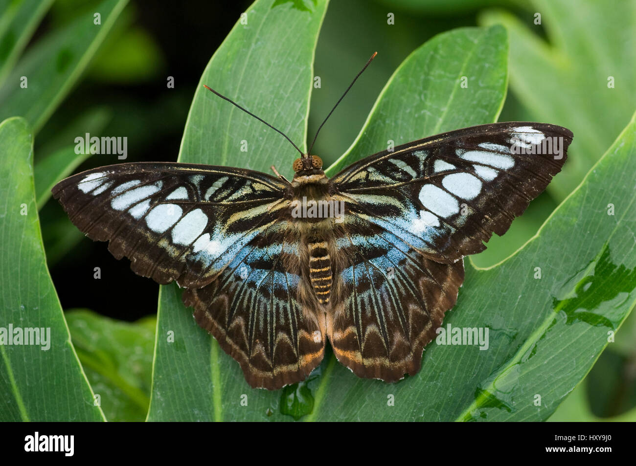 Clipper butterfly (Parthenos sylvia) wings open, at rest on leaf. - Stock Image