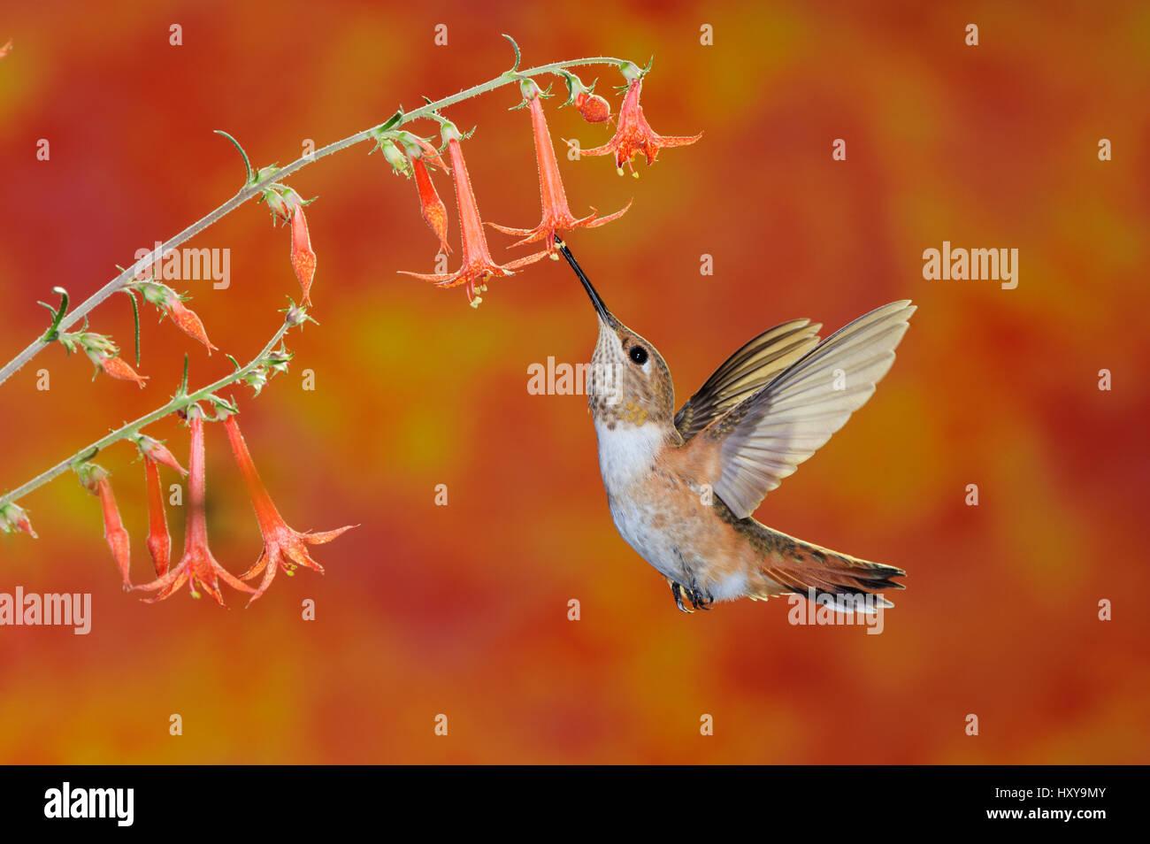 Rufous Hummingbird (Selasphorus rufus) female feeding in flight on Scarlet Gilia (Ipomopsis aggregata). Gila National - Stock Image