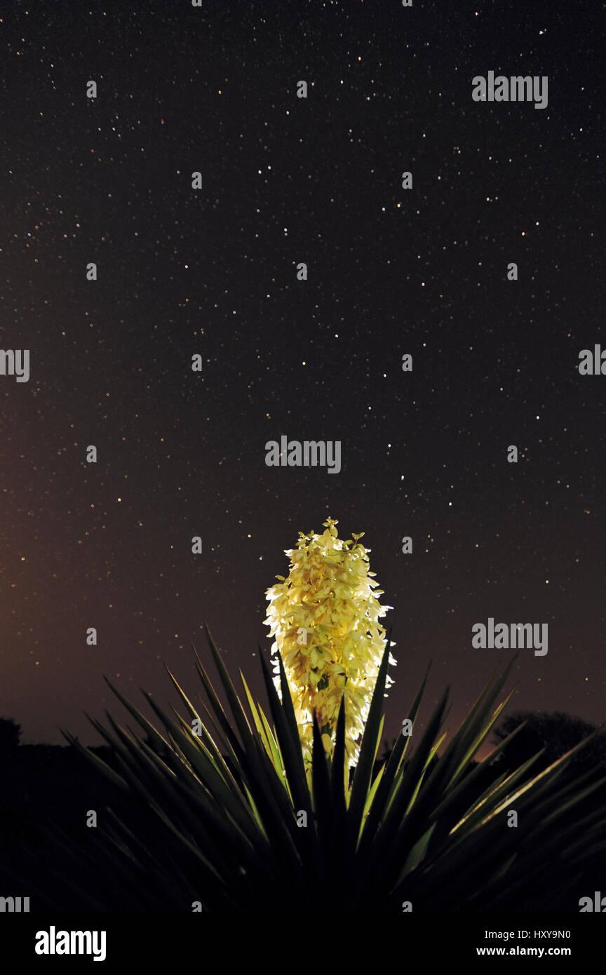 Trecul Yucca, Spanish Dagger (Yucca treculeana), blossom with night stars. Laredo, Webb County, South Texas, USA. - Stock Image