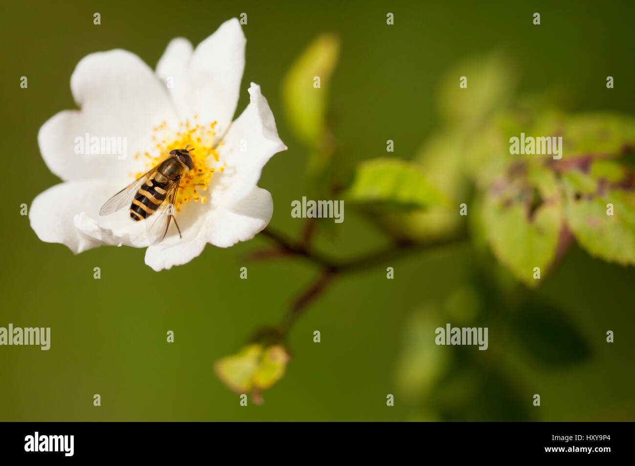 Marmalade hover fly (Episyrphus balteatus) feeding on nectar from field rose (Rosa arvensis). Denmark Farm, Lampeter, - Stock Image
