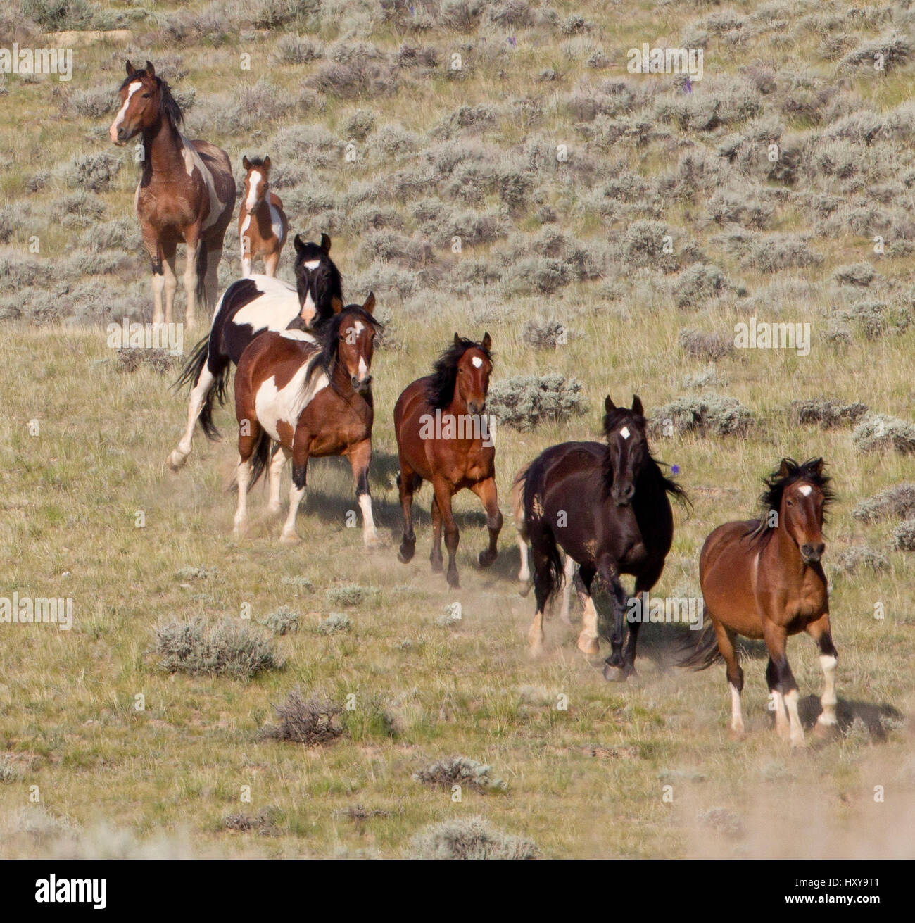 Wild Horses Mustangs Mccullough Peaks Herd Area Northern Wyoming Stock Photo Alamy