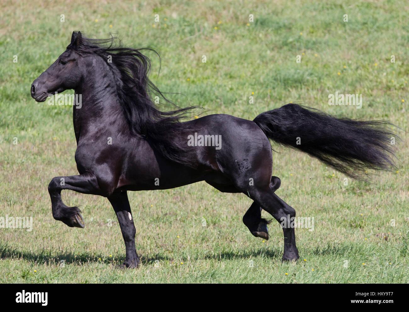 Black Friesian stallion trotting. Ojai, California, USA. - Stock Image