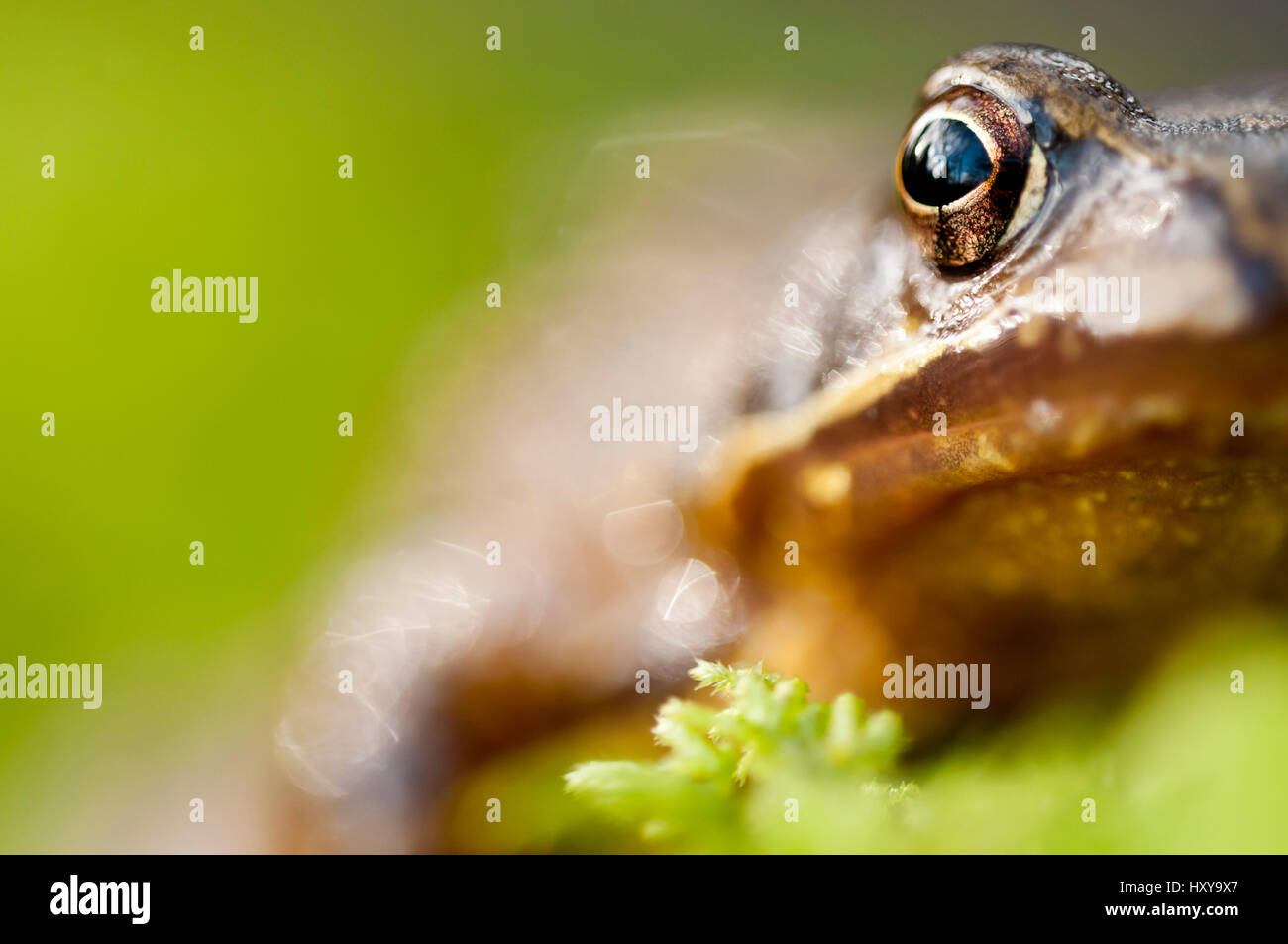 Common frog (Rana temporaria) portrait, Cornwall, UK, January. - Stock Image