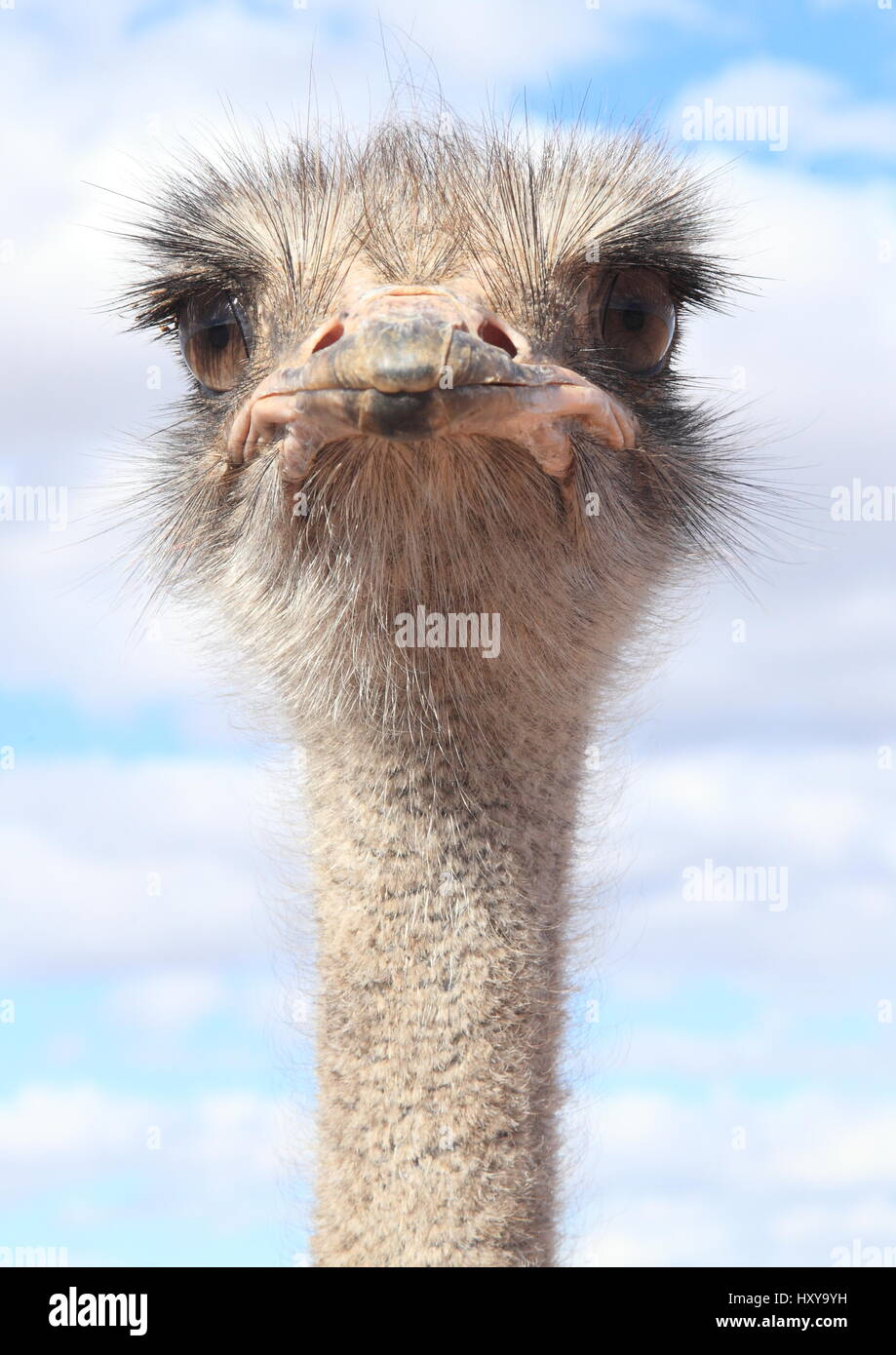 Ostriches faces - Stock Image