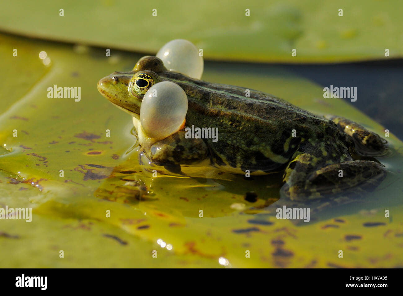 Pool Frog (Rana lessonae) vocalising with vocal sacs inflated, Danube delta rewilding area, Romania. - Stock Image