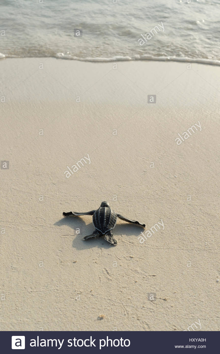 Leatherback sea turtle hatchling (Dermochelys coriacea)  crawling toward the Caribbean sea after emerging from nest, - Stock Image