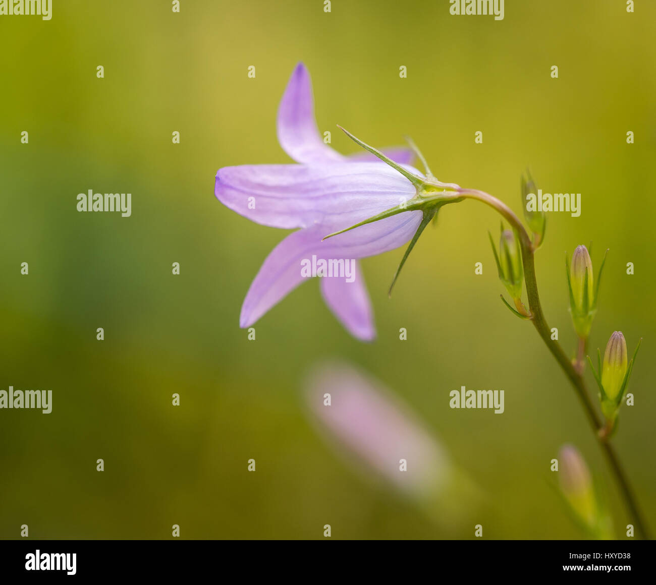meadow bellflower, beauty in purple with a blurry background - Stock Image