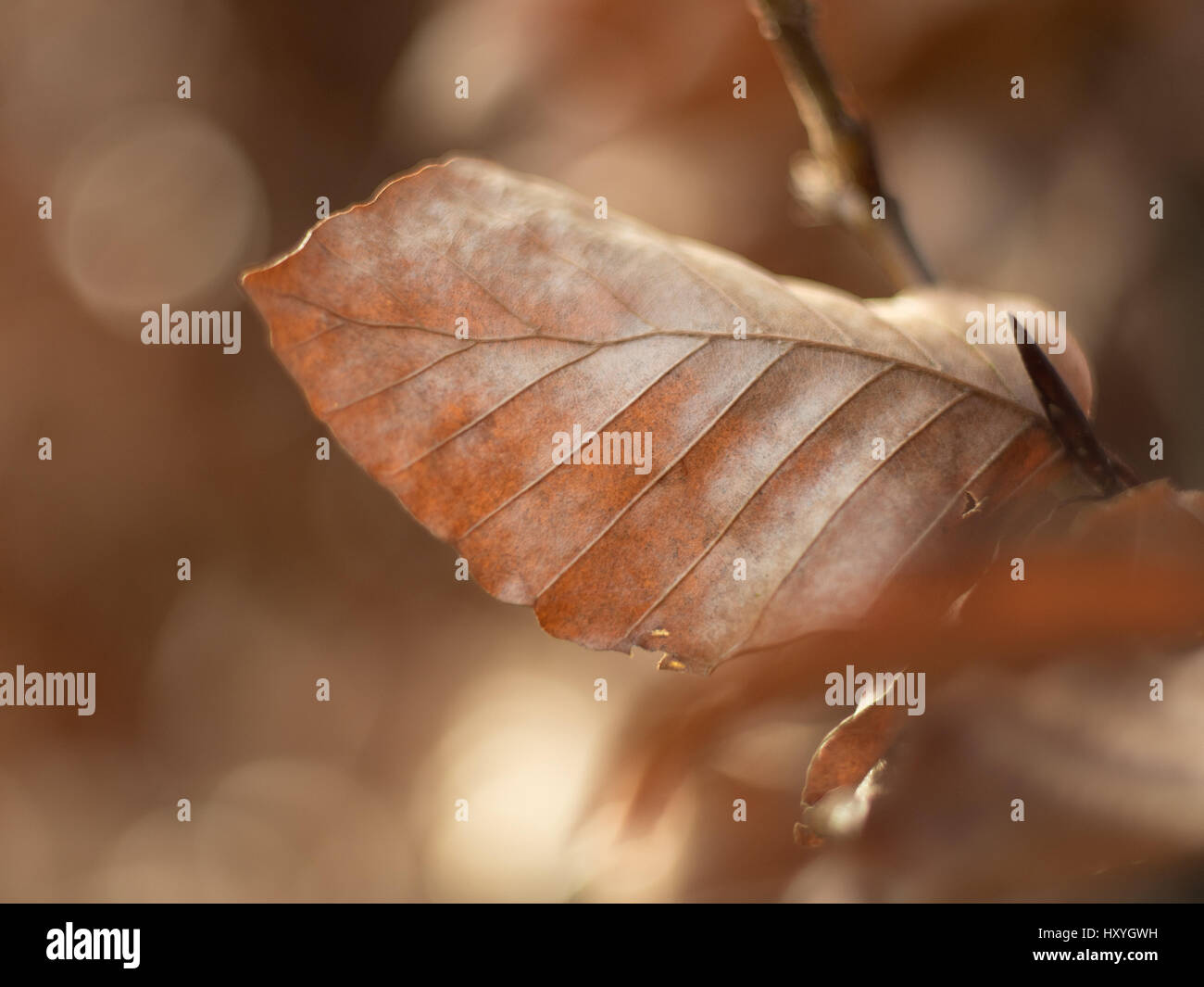 brown leaf on a beech tree with bokeh circles in the background - Stock Image