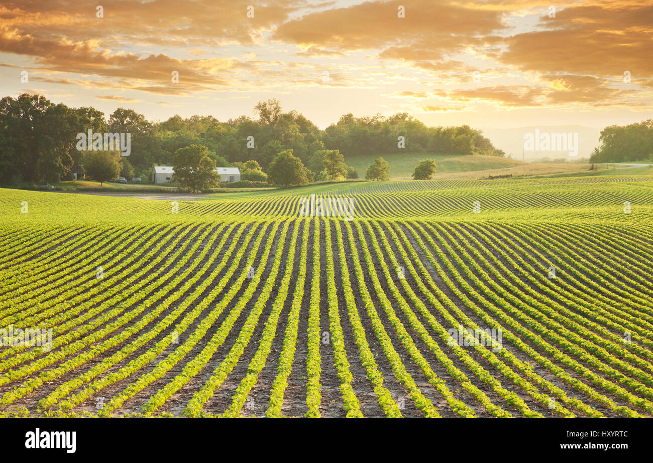 Rows of young soybean plants shot at sundown in Minnesota - Stock Image