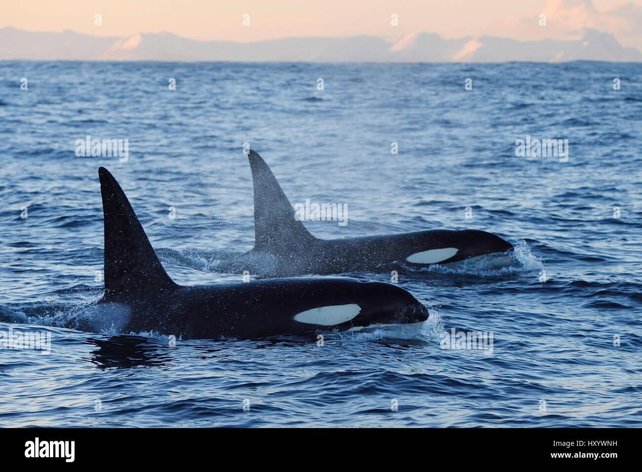 Two Orcas / Killer whales (Orcinus orca) surfacing, Senja, Troms County, Norway, Scandinavia, January. Cetaceans - Stock Image