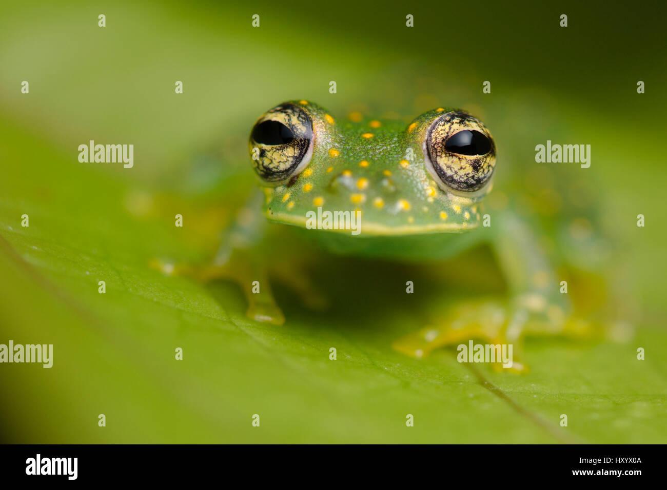 Yellow-flecked Glassfrog (Sachatamia albomaculata). Osa Peninsula, Costa Rica. Stock Photo