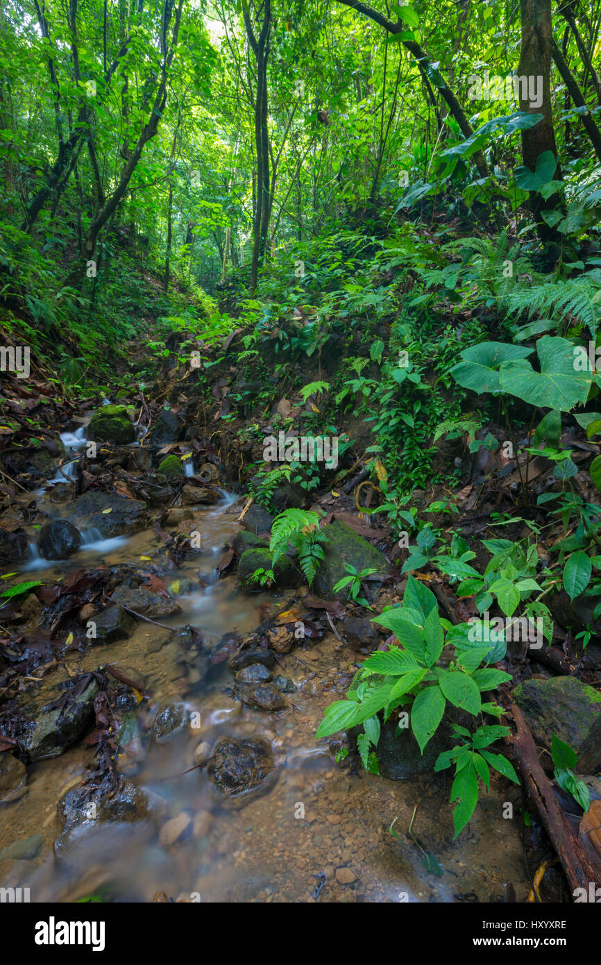 Rainforest stream, habitat of the Golfodulcean poison frog (Phyllobates vittatus). Osa Peninsula, Costa Rica. - Stock Image