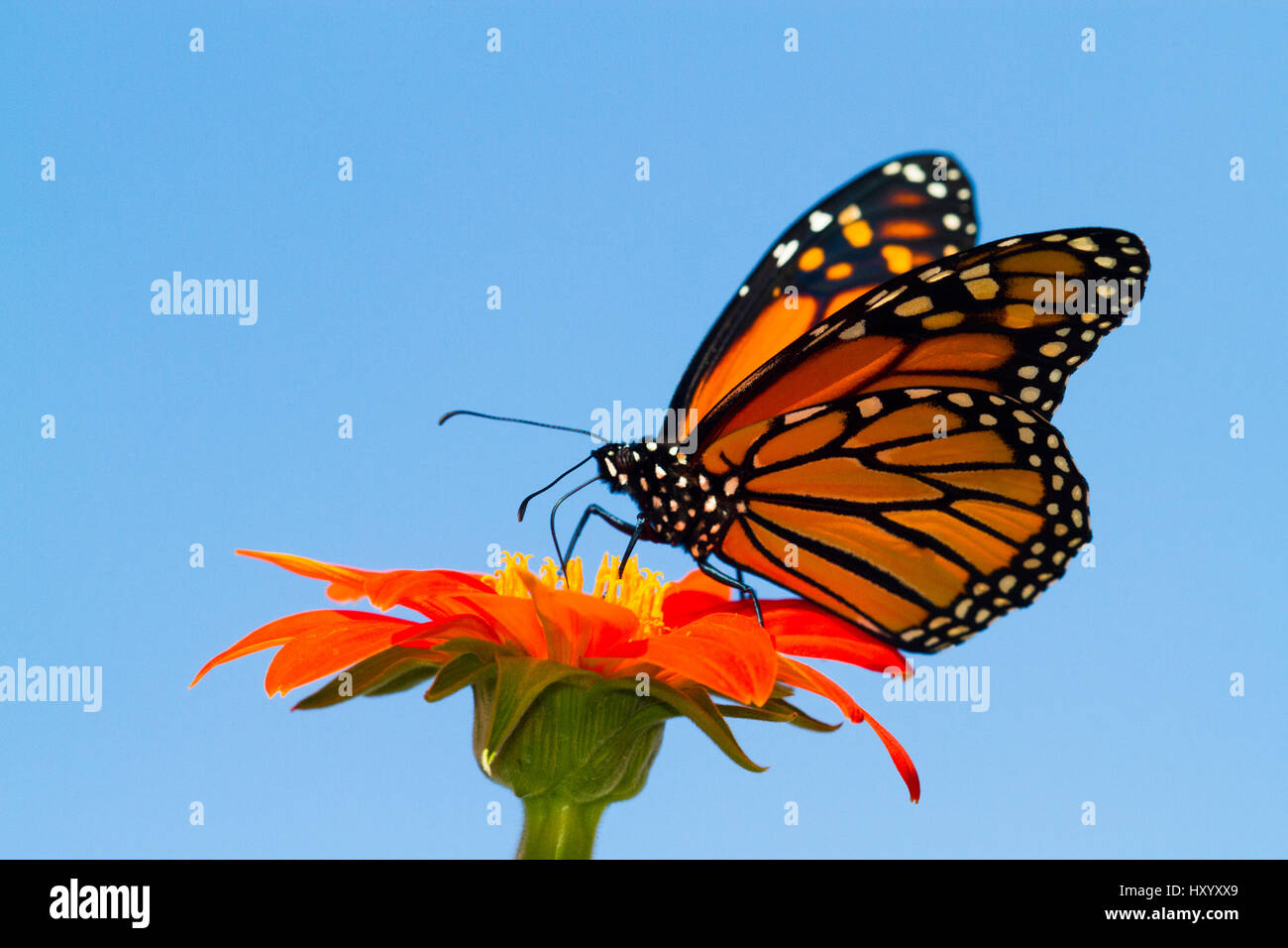 Monarch butterfly (Danaus plexippus) with life-cycle tied to the presence of milkweed plants (Asclepias sp). East Stock Photo