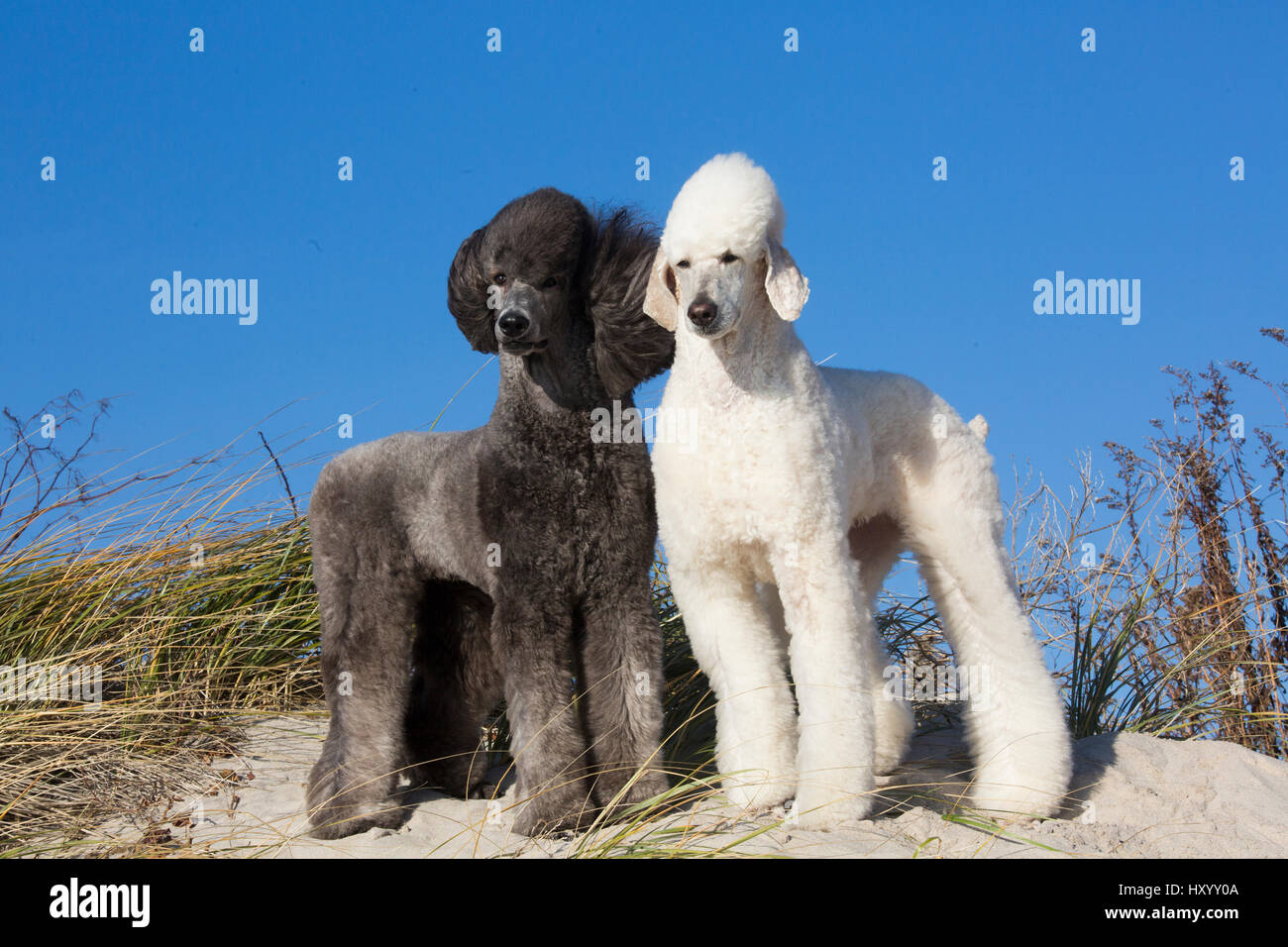 Domestic Standard poodles on sand dune. Waterford, Connecticut, USA. December. - Stock Image