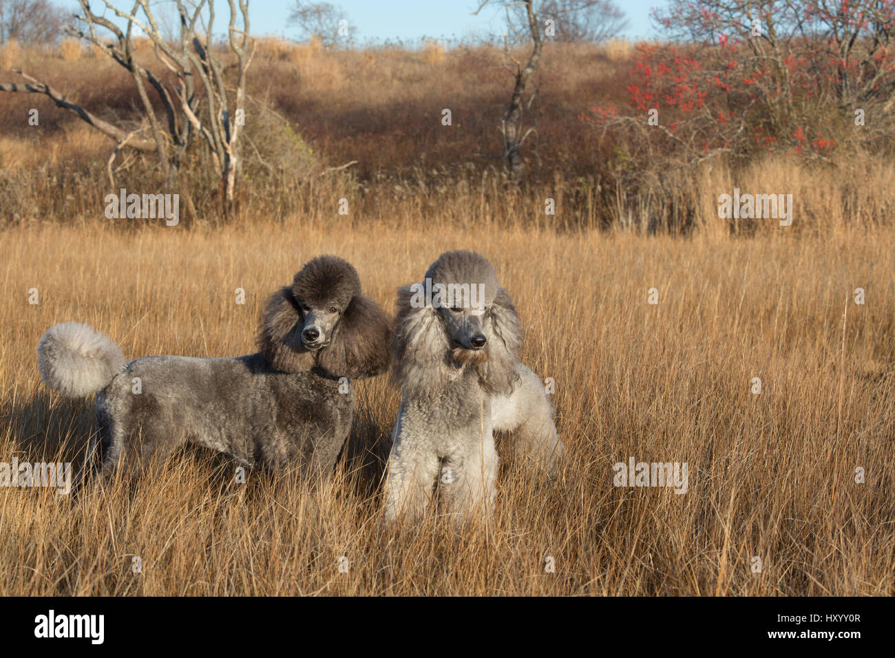 Domestic Standard poodles in salt marsh, Waterford, Connecticut, USA. December 2012. - Stock Image