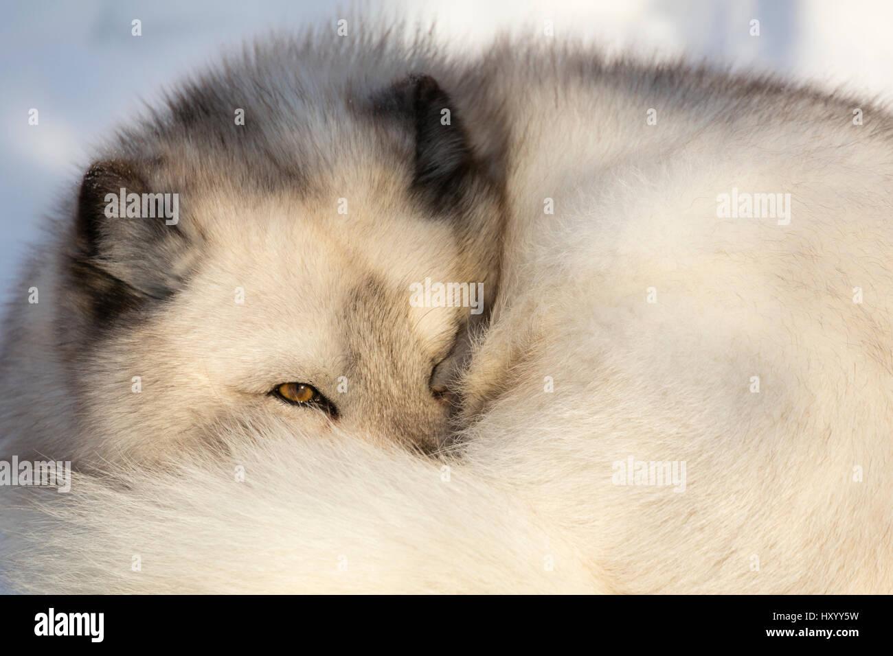 Arctic fox vixen (Vulpes lagopus), captive, Highland Wildlife Park, Kingussie, Scottish Highlands, UK, December. Stock Photo