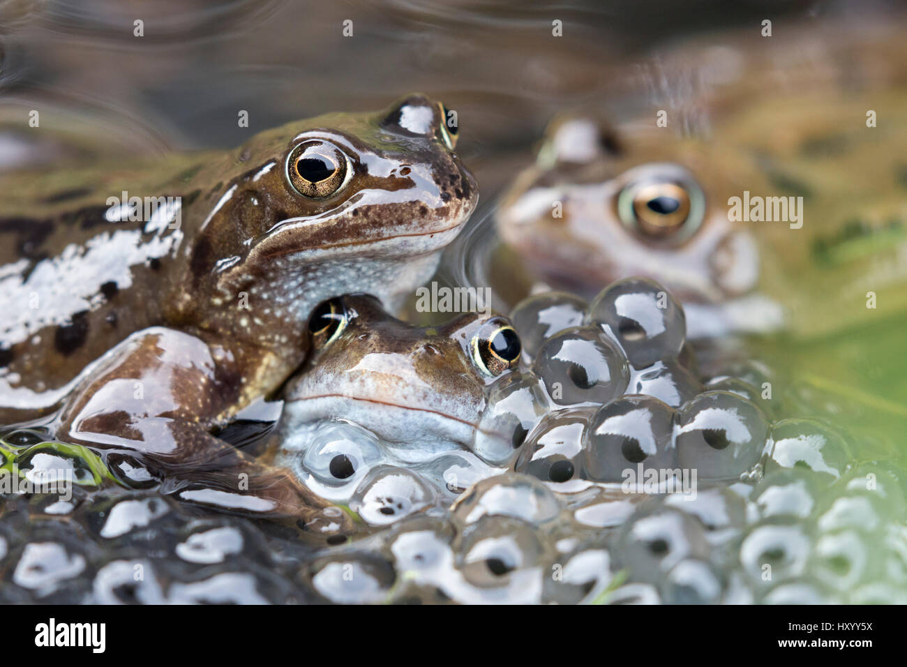 Common frogs (Rana temporaria) in spawning pond, Northumberland, UK, March. - Stock Image