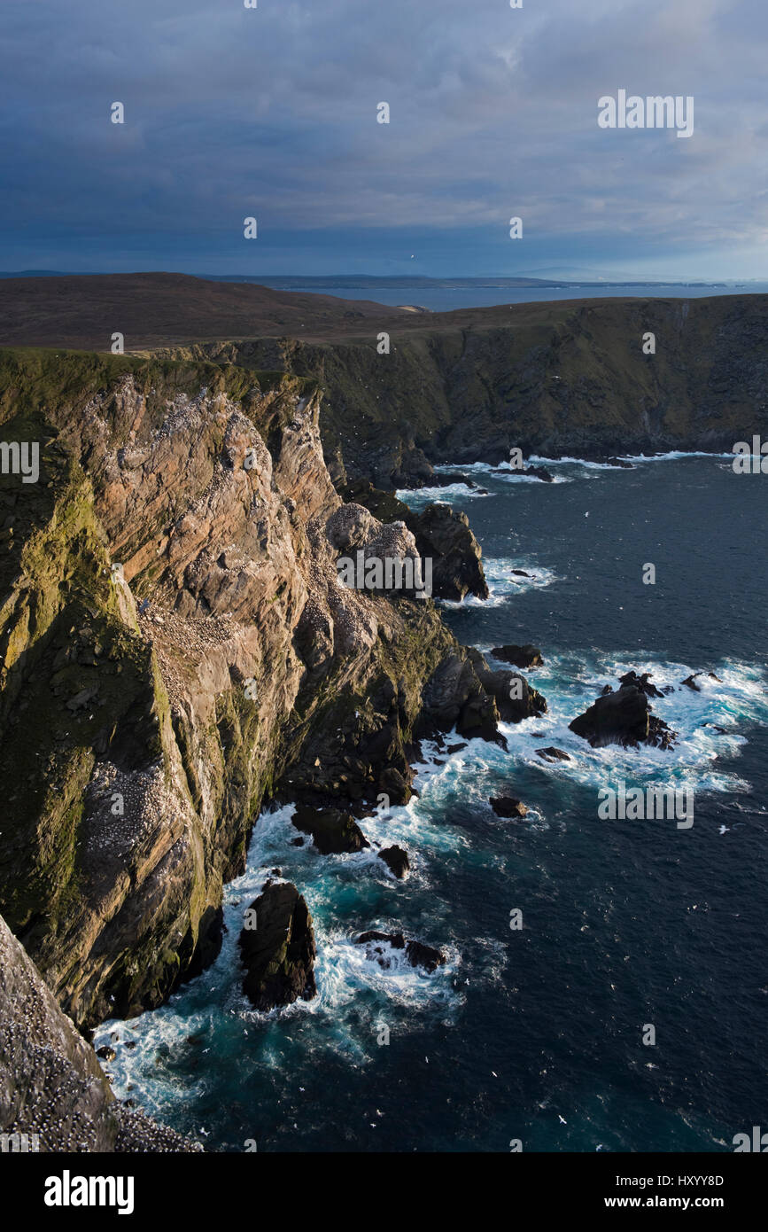 Northern gannet (Sula bassana) colony on cliffs at Hermaness National Nature Reserve. Unst, Shetland, Scotland. Stock Photo