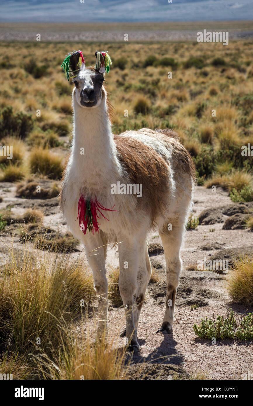 A llama grazes on the Bolivian altiplano - Stock Image