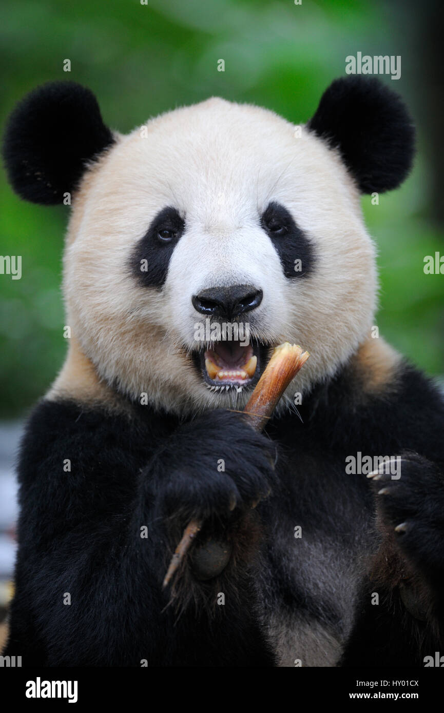 Head portrait of Giant panda (Ailuropoda Melanoleuca) feeding on bamboo. Bifengxia Giant Panda Breeding and Conservation Stock Photo