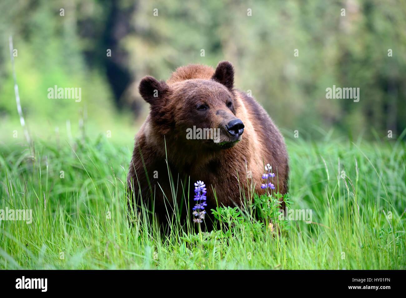 Male Grizzly bear (Ursus arctos horribilis) feeding on Nootka lupine. Khutzeymateen Grizzly Bear Sanctuary, British - Stock Image