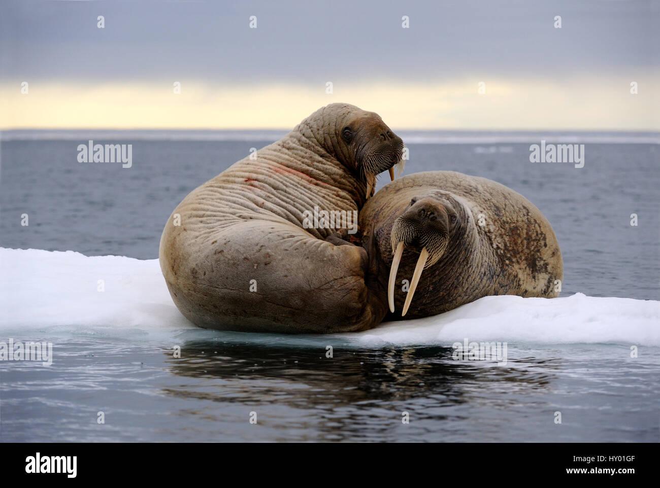 Two walrus (Odobenus rosmarus) resting on ice. Foxe Basin, Nunavut, Canada. - Stock Image