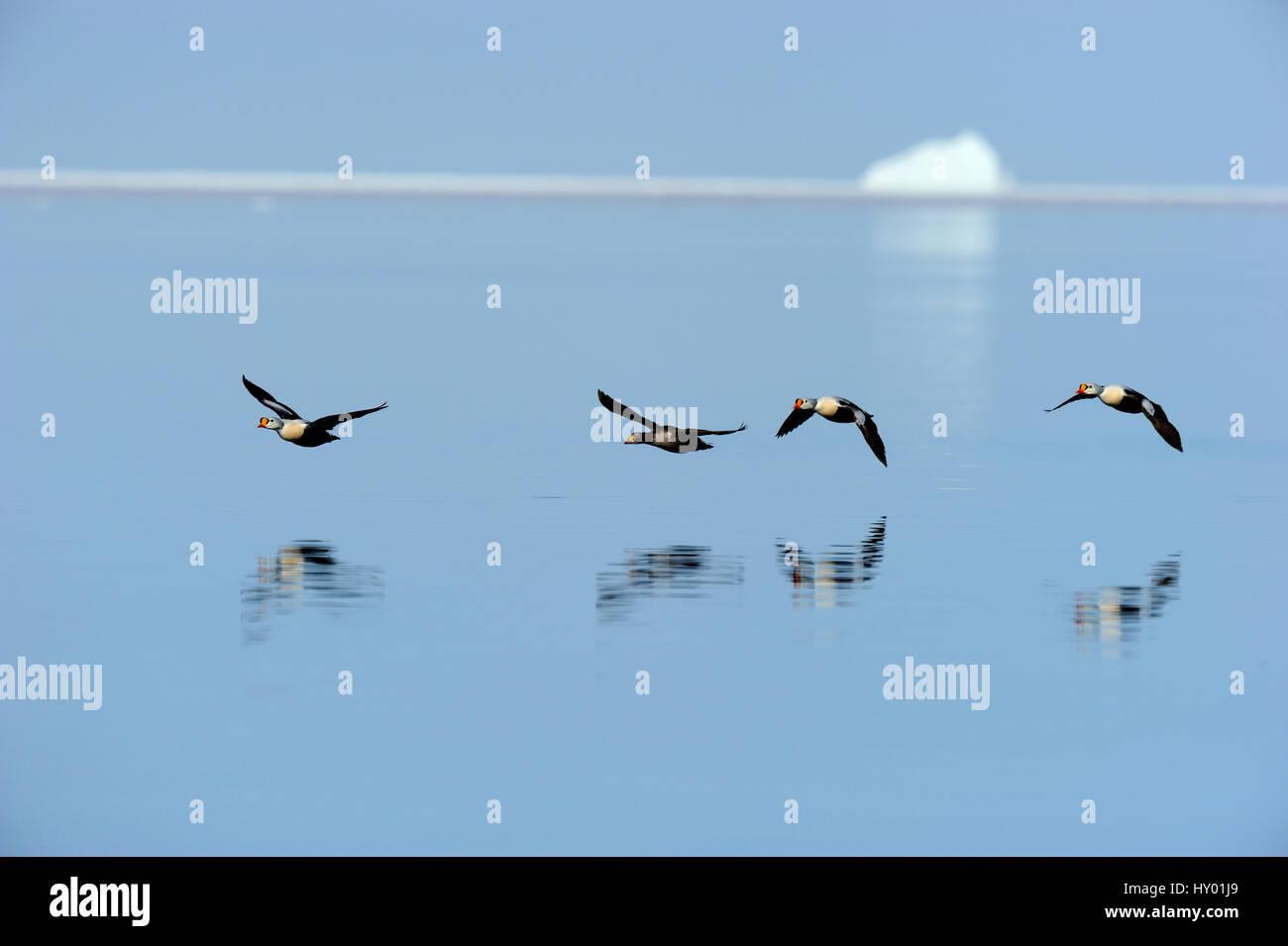 King eider duck  (Somateria spectabilis)  flying over water. Floe edge, Arctic Bay, Nunavut, Canada. - Stock Image