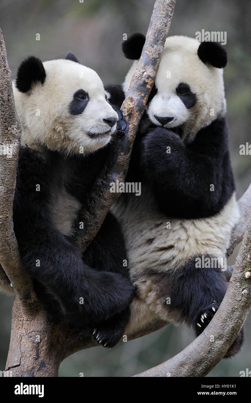 Two subadult Giant pandas (Ailuropoda melanoleuca)  climbing in tree. Wolong Nature Reserve, Wenchuan, Sichuan Province, - Stock Image