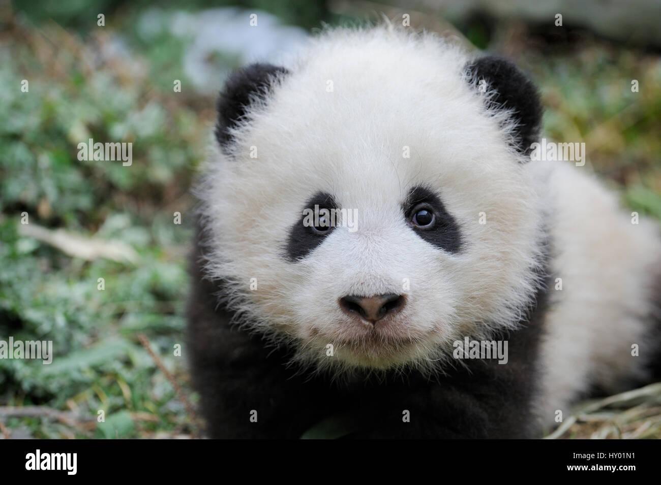 Head portrait of Giant panda  (Ailuropoda melanoleuca) cub aged 5 months. Wolong Nature Reserve, Wenchuan, Sichuan - Stock Image