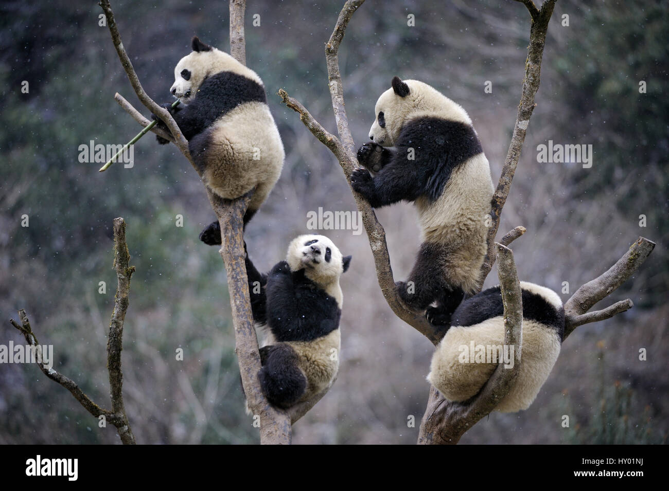 Four subadult Giant pandas (Ailuropoda melanoleuca) climbing in tree. Wolong Nature Reserve, Wenchuan, Sichuan Province, - Stock Image