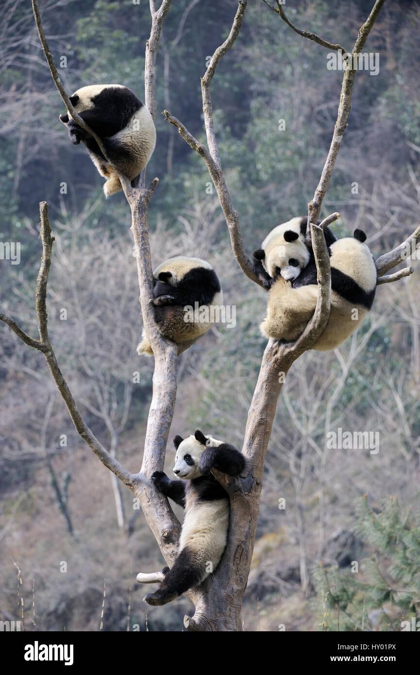 Five subadult Giant pandas (Ailuropoda melanoleuca) climbing in tree. Wolong Nature Reserve, Wenchuan, Sichuan Province, - Stock Image
