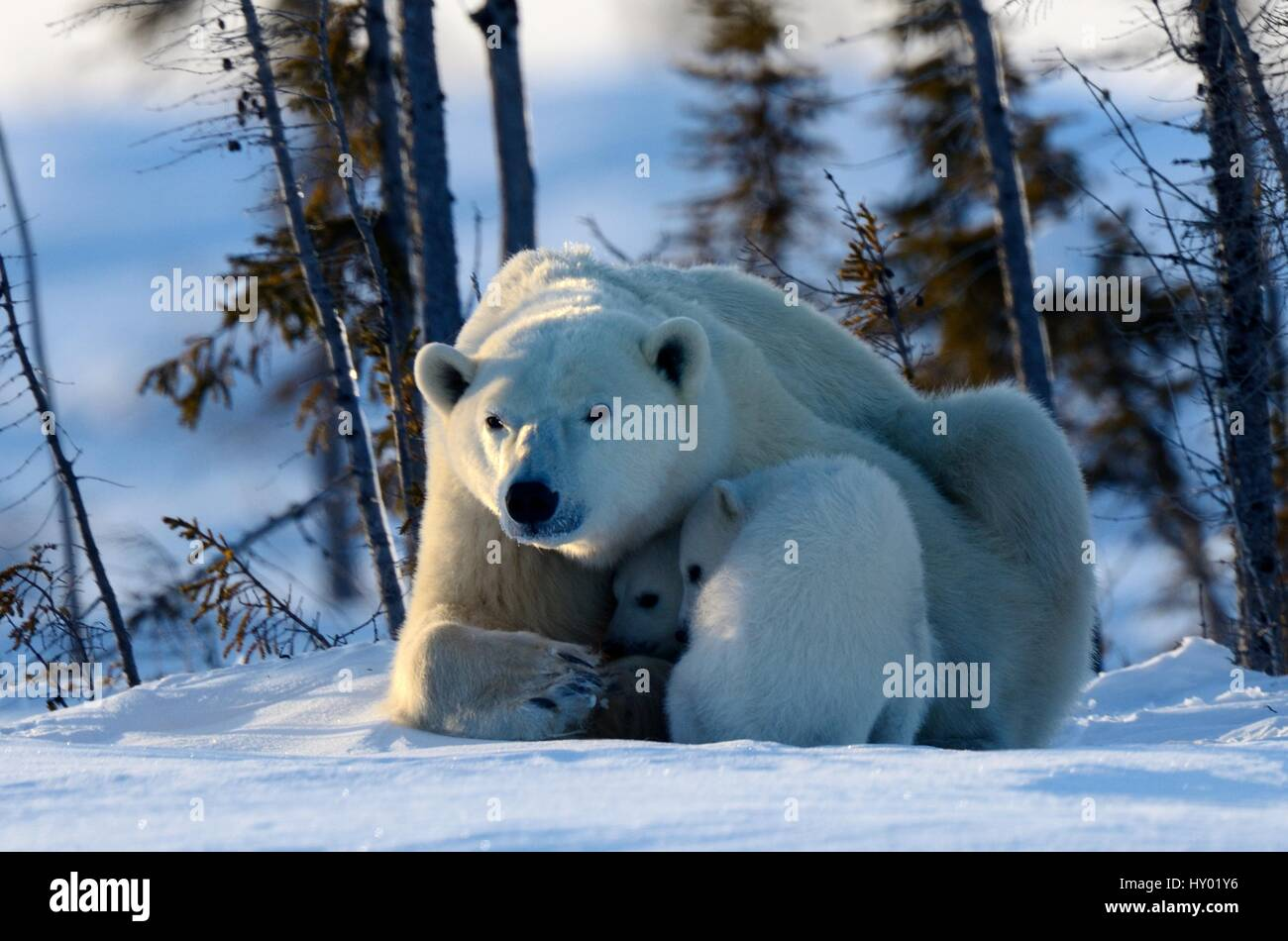 Polar bear mother (Ursus maritimus) with two 3 month  cubs, coming out of den. Wapusk National Park, Churchill, - Stock Image