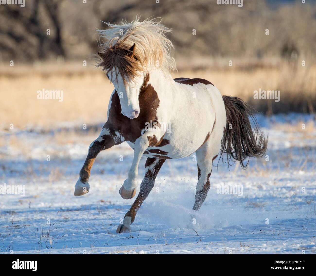 Wild pinto Mustang stallion running in snow, Black Hills Wild Horse Sanctuary, South Dakota, USA. January. - Stock Image
