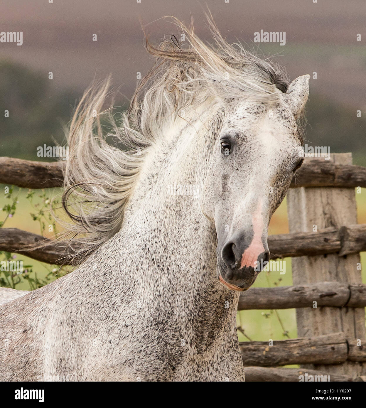 Head portrait of grey Andalusian stallion running in pasture with windswept mane, Southern Spain. April. - Stock Image